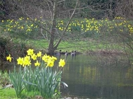 Daffodils by the pond